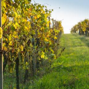 Gourmet Jižní Morava - víno a vinařství jižní Morava - Vinařství Volařík Mikulov